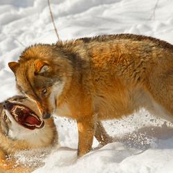 Een wolven uitdaging?