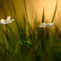 'Gras'anemonen