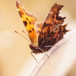 mijn eerste vlinder van 2015
