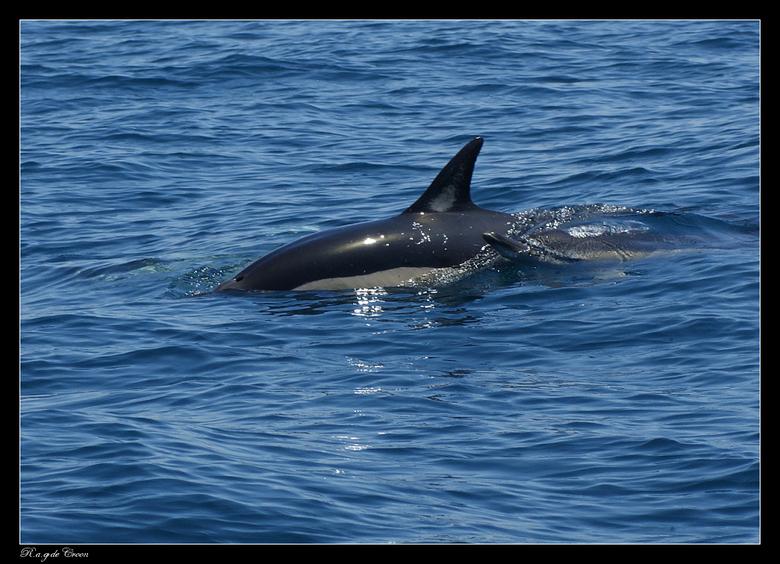 Delphinus......... - klinkt mischien gek..<br /> maar deze foto is met mijn macro lens gemaakt.<br /> tijdens vakantie in portugal albufeira.<br />
