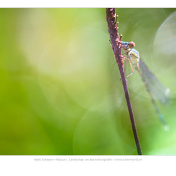 Houtpantserjuffer (Chalcolestes viridis)