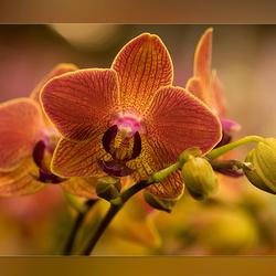 Orchidee varié 1