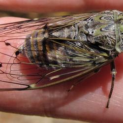 cicade / cigale