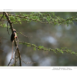 Speckled Mousebird, Kenia