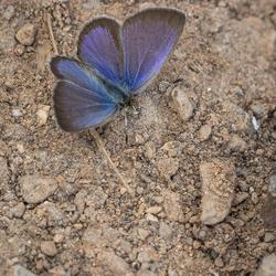 Amethistblauwtje