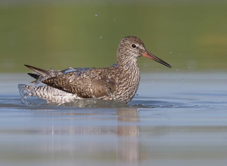 Badderende Tureluur - Ook de vogels zoeken verkoeling in het water!<br /> <br /> hoi henk<br /> https://www.hlfotografie.nl/