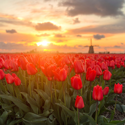 Sun kissed red tulips