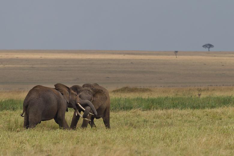 Worstelen - Deze 2 mannetjes konden het blijkbaar niet zo vinden met elkaar en vochten het dan maar uit op de vlaktes van Masai Mara NP in Kenia.