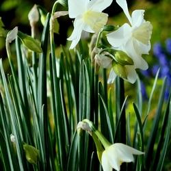 Witte Schoonheid