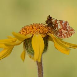 Herdersparelmoervlinder