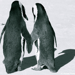 Pinguins in love
