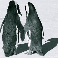 Pinguins in love
