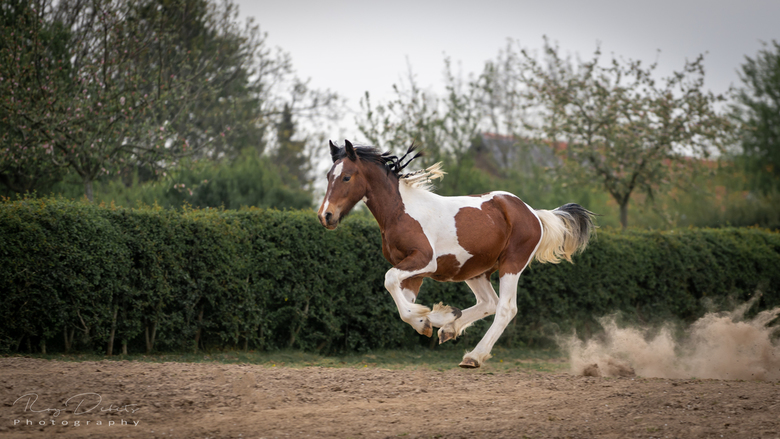 S A K U R A - Ons tinkerveulen in galop!