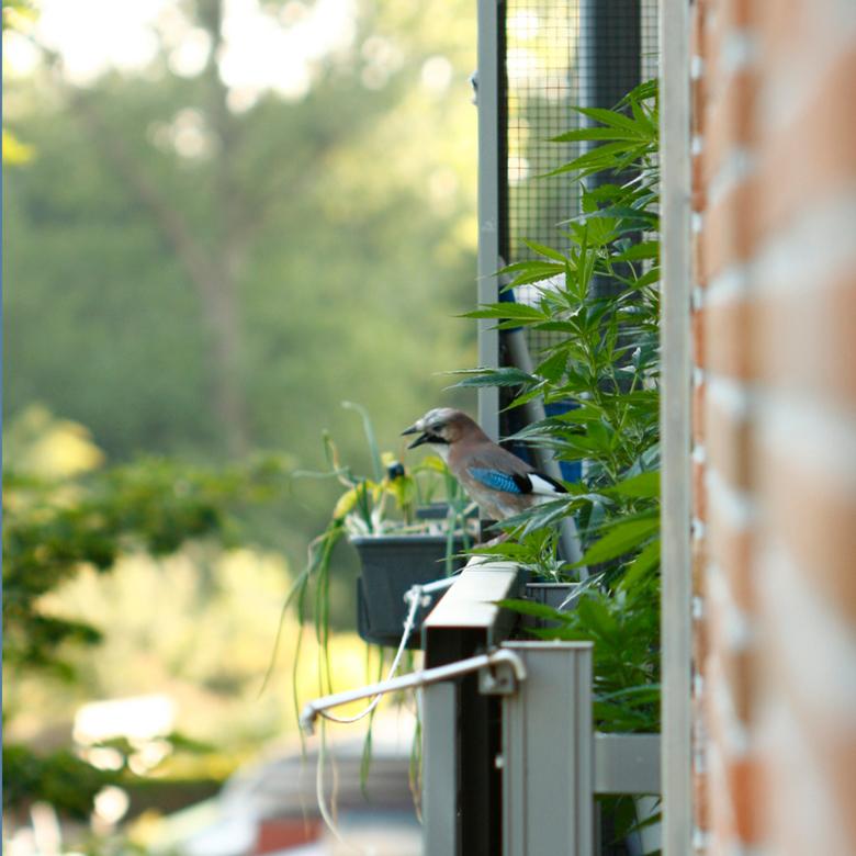 Vlaamse High - Gespot, op het balkon van de buren tussen de voor consumptie bedoelde plantjes (overigens, ze houden zich keurig aan de wettelijk toege