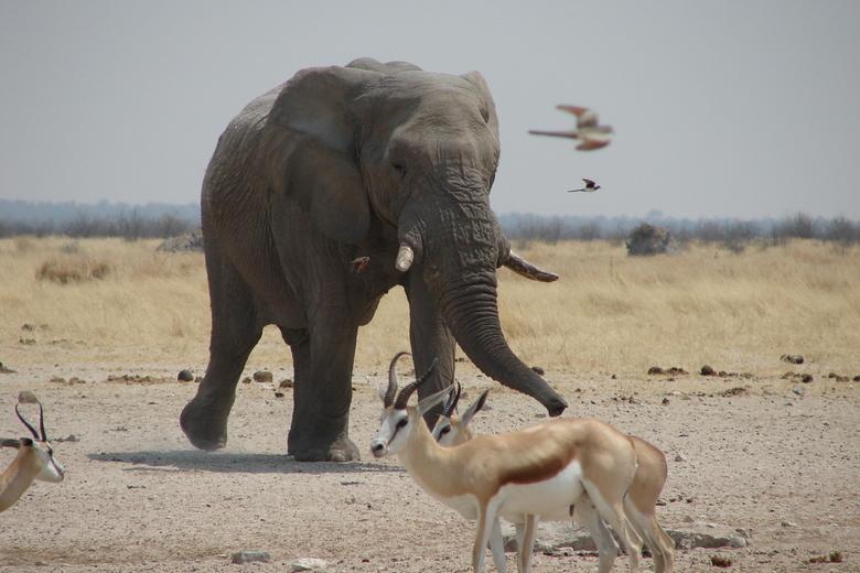 Olifant in Etosha - Deze grote olifant zagen wij in de verte al aan komen lopen, op weg naar de drinkplaats.<br /> Foto genomen in Etosha, Namibië.