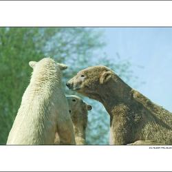 Vergadering bij de ijsberen