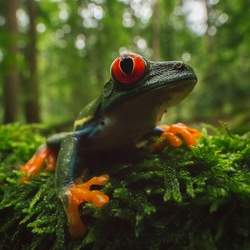 Boomkikkertje (Red eyed tree frog)