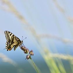 Koninginnepage in wuivend gras
