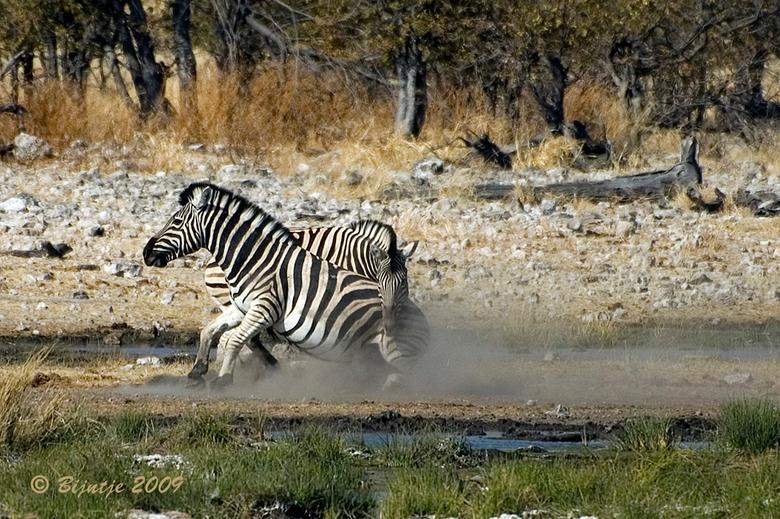 Vechten om de vrouwtjes - Etosha national park in Namibië is een grotendeels dor gebied. Er zijn door het hele park drinkplaatsen aangelegd, zodat ied