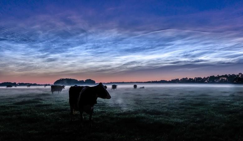 Lichtende nachtwolken en witte wieven - Onderweg naar een stuk heide om deze prachtige wolken vast te leggen kwam ik langs deze wei met mist en koeien