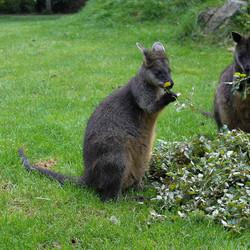 Kangoeroes Blijdorp