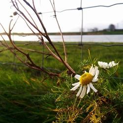 Eenzame bloeier