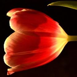 Serie tulp in Zonlicht