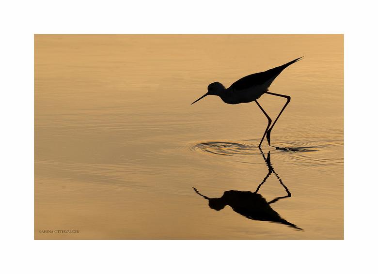 Lange slanke benen... - ...een duidelijk kenmerk van de steltkluut. Deze foto in Frankrijk kunnen maken tijdens de zonsondergang. <br /> Wij zijn wee