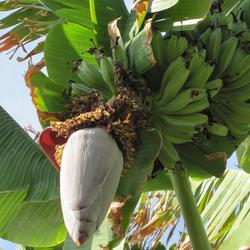 de laatste bananen ...