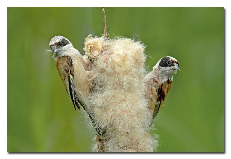Buidelmezen - twee buidel mezen die een lisdodder kaal gaan verorberen, en dat deden ze in now time<br /> <br /> Effies in het groot bekijken!<br />