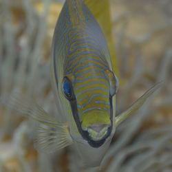 Koraalvis frontaal