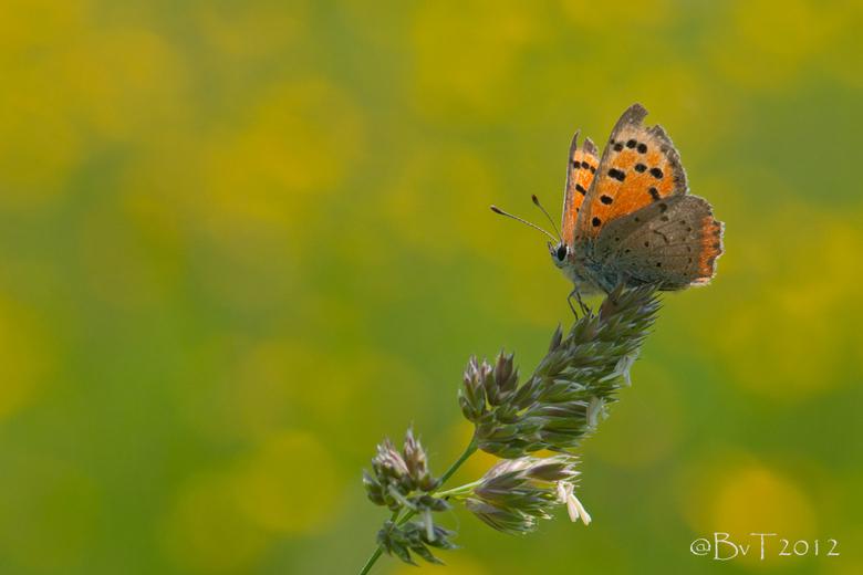 Kleine Vuurvlinder - Eindelijk ... ze zijn er weer volop! Afgelopen week een paar kleine vuurvlinders tegen het lijf gelopen. <br /> <br /> Hier het