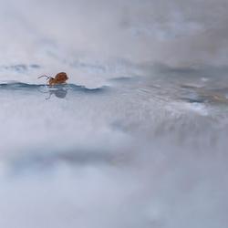 springstaart in het water