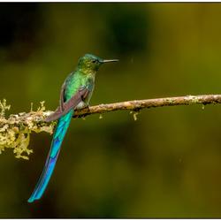 Deze kolibrie heet langstaartnimf.
