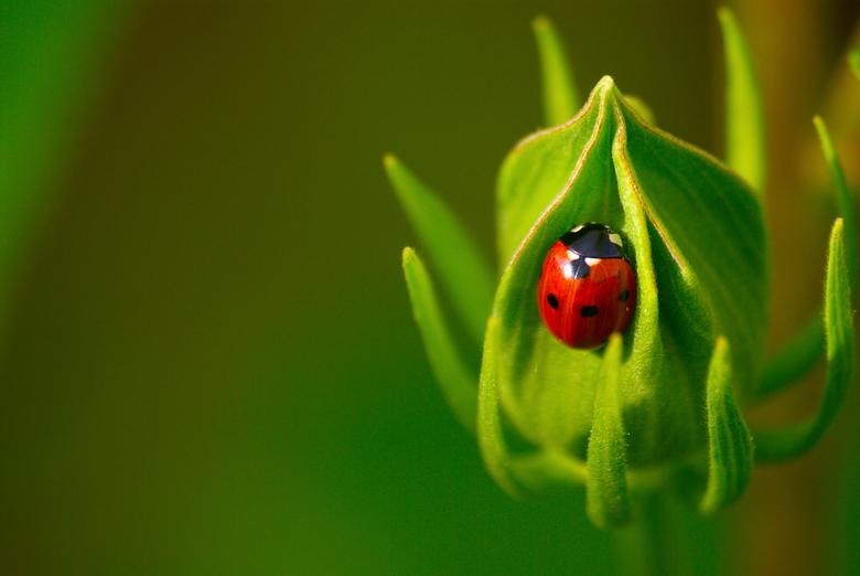 LHB - Lieveheersbeestje schuilt in een bloemknop in de lentezon
