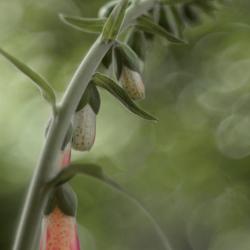 Vingerhoedskruid