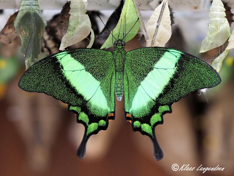Papilio palinurus - Genomen tijdens het praktijk gedeelte van een macro workshop door Olympus visionair Arend Spaans (https://arendspaans.nl/) in de v