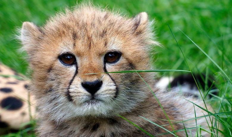 I wonder - Jonge cheetah