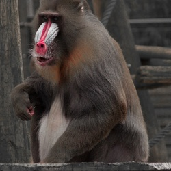 Mandril with a red nose
