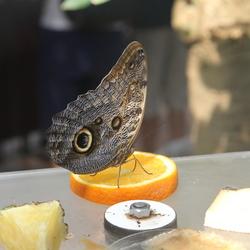 Vlinder geniet van een stuk sinaasappel