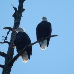 Bold Eagles