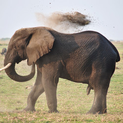 Olifant in Chobe NP
