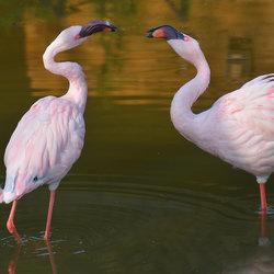 Flamingo conversatie.
