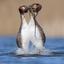 Pinguïndans Futen 4