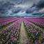 Donkere luchten boven de tulpenvelden