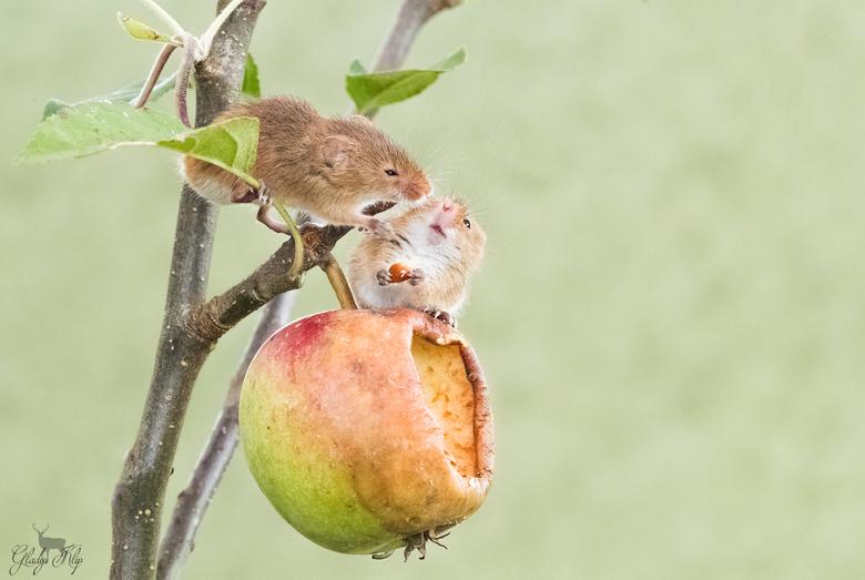 Hé dat is mijn appel!  - Je kan zoveel titels bedenken bij deze leuke interactie tussen de dwergmuisjes. Het blijven ongelooflijk schattige beestjes!