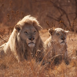 South Africa - lions