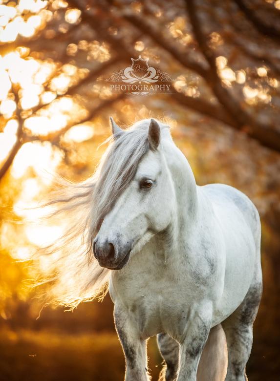 Lunesdale Pearly King - Alweer een tijdje terug deze pracht fellpony hengst op de foto gezet onder de bloesem. Met als einde een prachtige zonsonderga