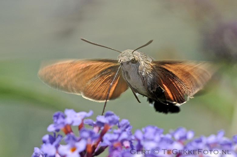 Kolibrievlinder ... - Nog een opname van de afgelopen vakantie in de franse Ardeche
