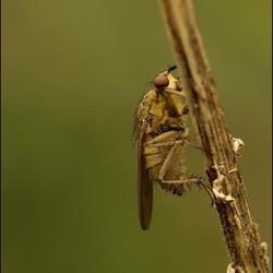 strontvlieg (Scatophaga stercoraria)